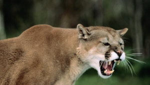 Mountain Lion Hd