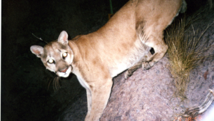 Mountain Lion High Definition
