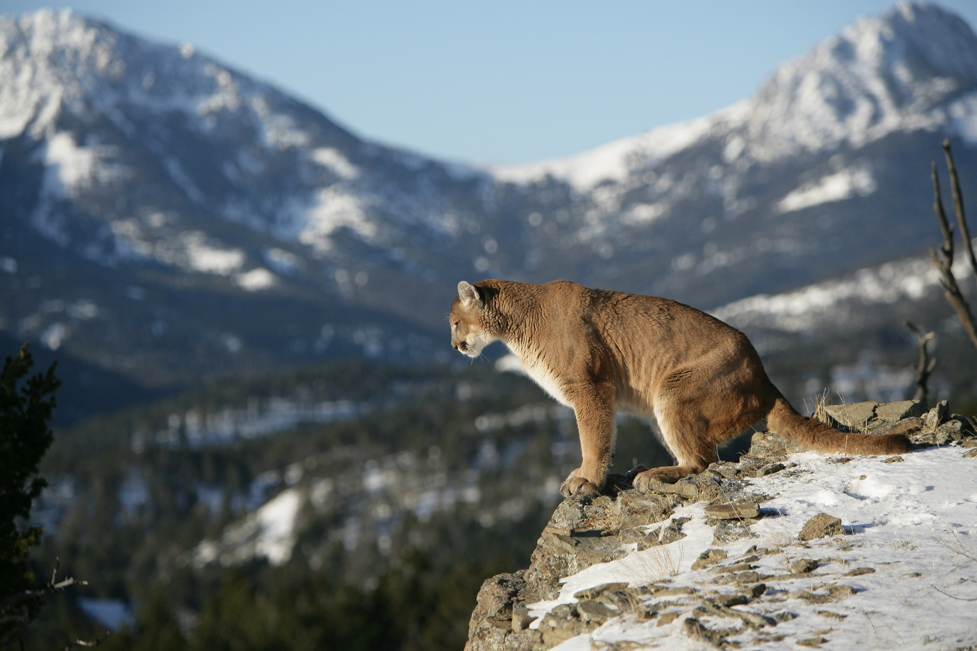 Mule deer and mountain lion hunts with. - Cat Track Outfitters Pictures of young mountain lions