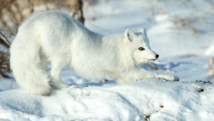 Pictures Of Arctic Fox