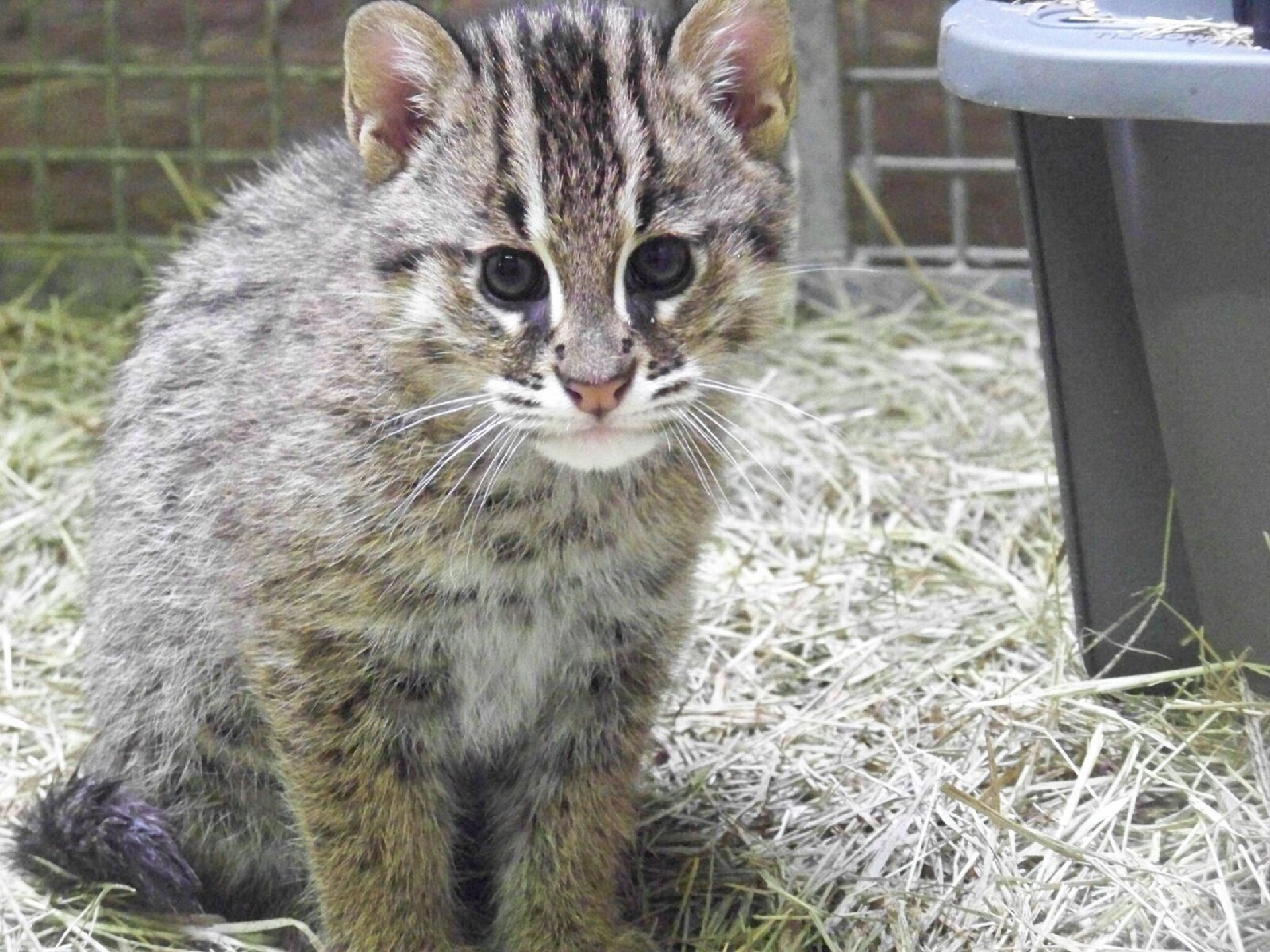 Pictures Of Fishing Cat