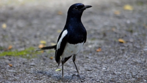 Pictures Of Magpie