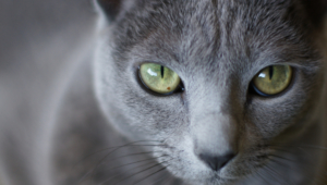 Pictures Of Russian Blue