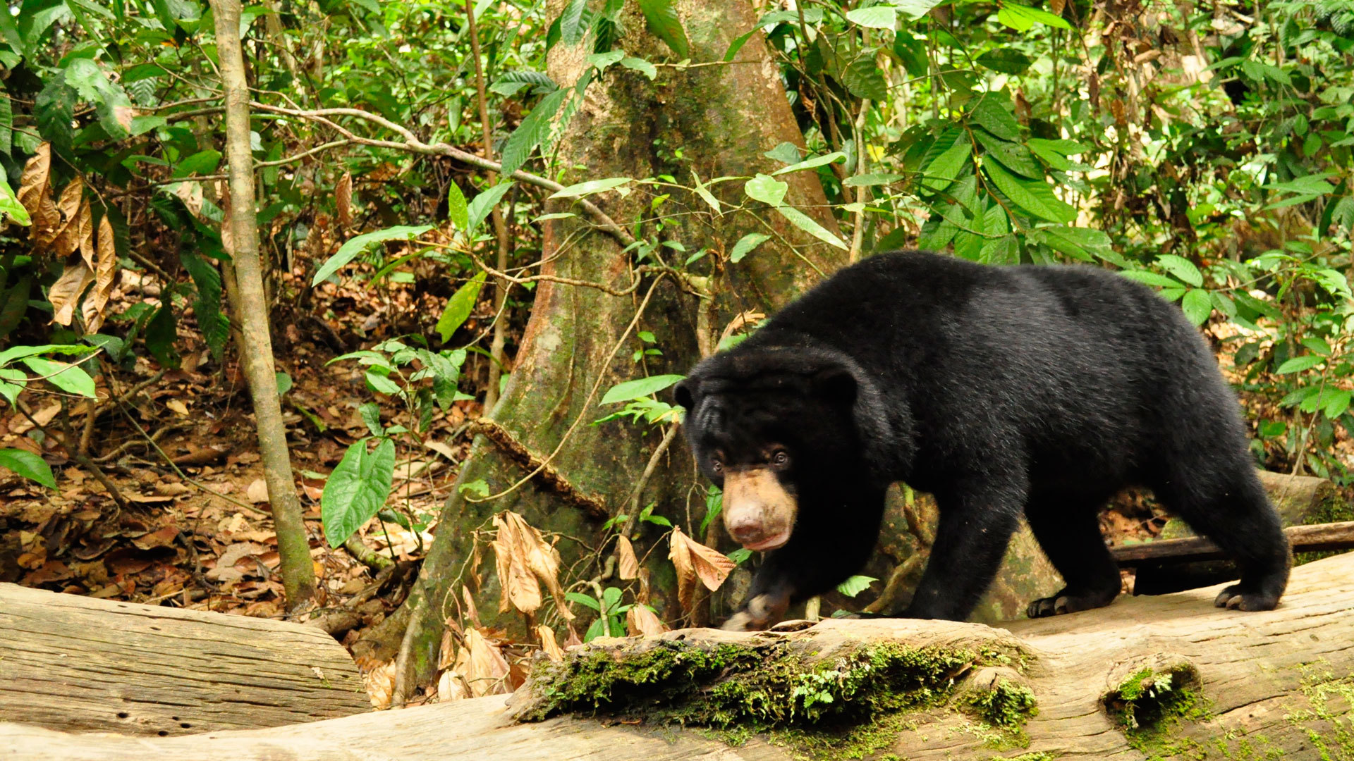 Pictures Of Sun Bear
