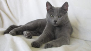 Russian Blue Computer Backgrounds