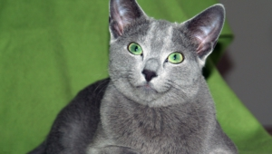 Russian Blue Hd