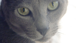 Russian Blue High Definition