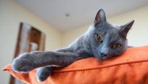 Russian Blue High Definition Wallpapers