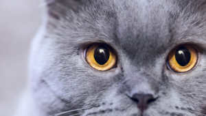 Russian Blue Images