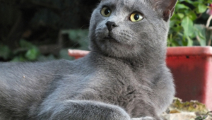 Russian Blue Wallpaper For Computer