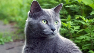Russian Blue Wallpapers Hd