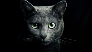 Russian Blue Wallpapers Hq