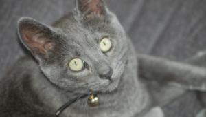 Russian Blue Widescreen
