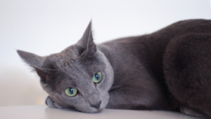 Russian Blue Full Hd