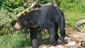 Sun Bear Hd Background
