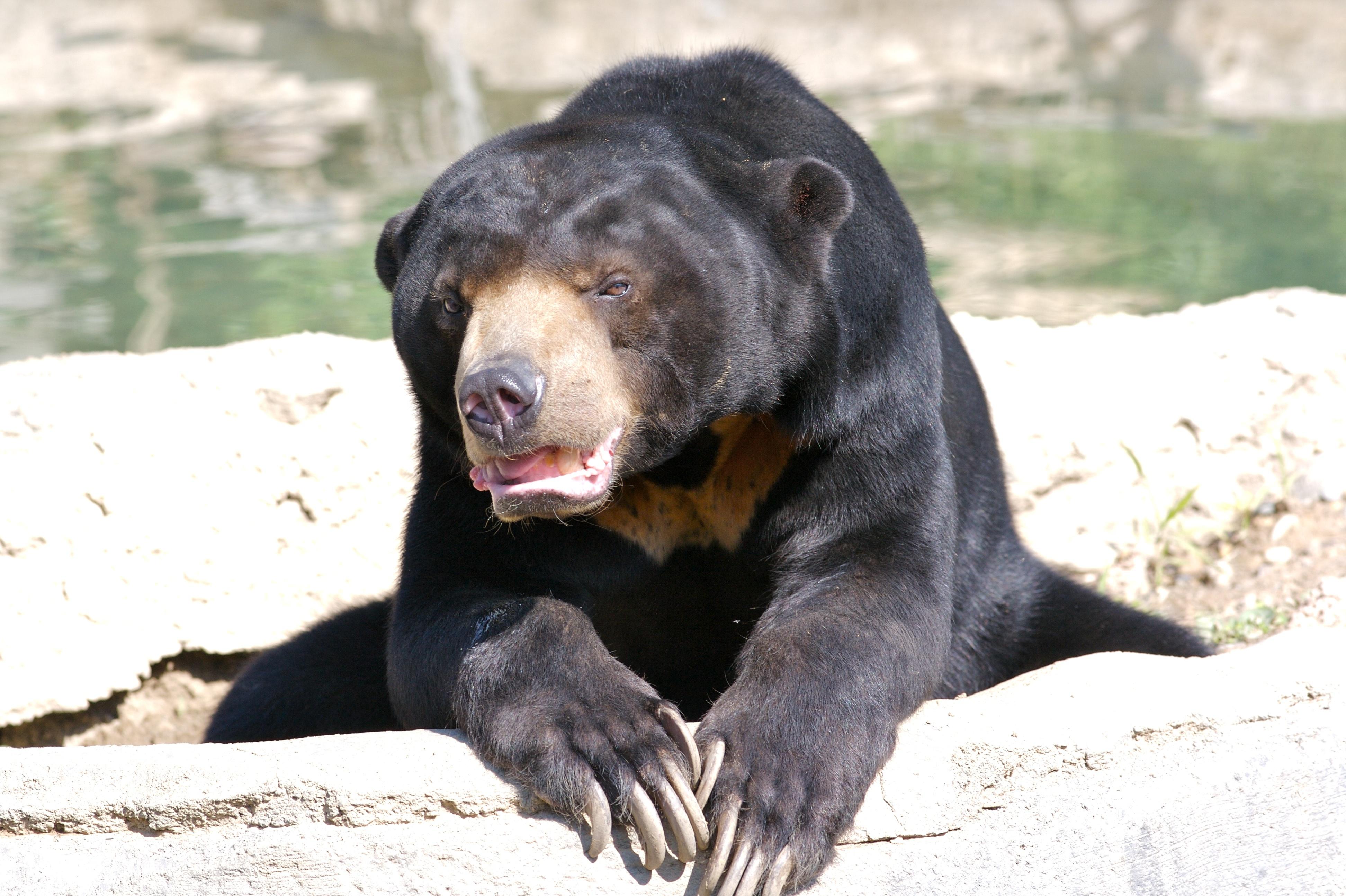 Sun Bear Hd