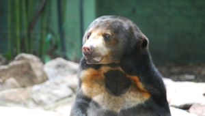 Sun Bear Photos
