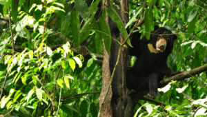 Sun Bear Wallpaper