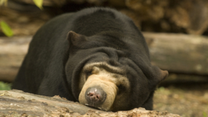 Sun Bear Widescreen