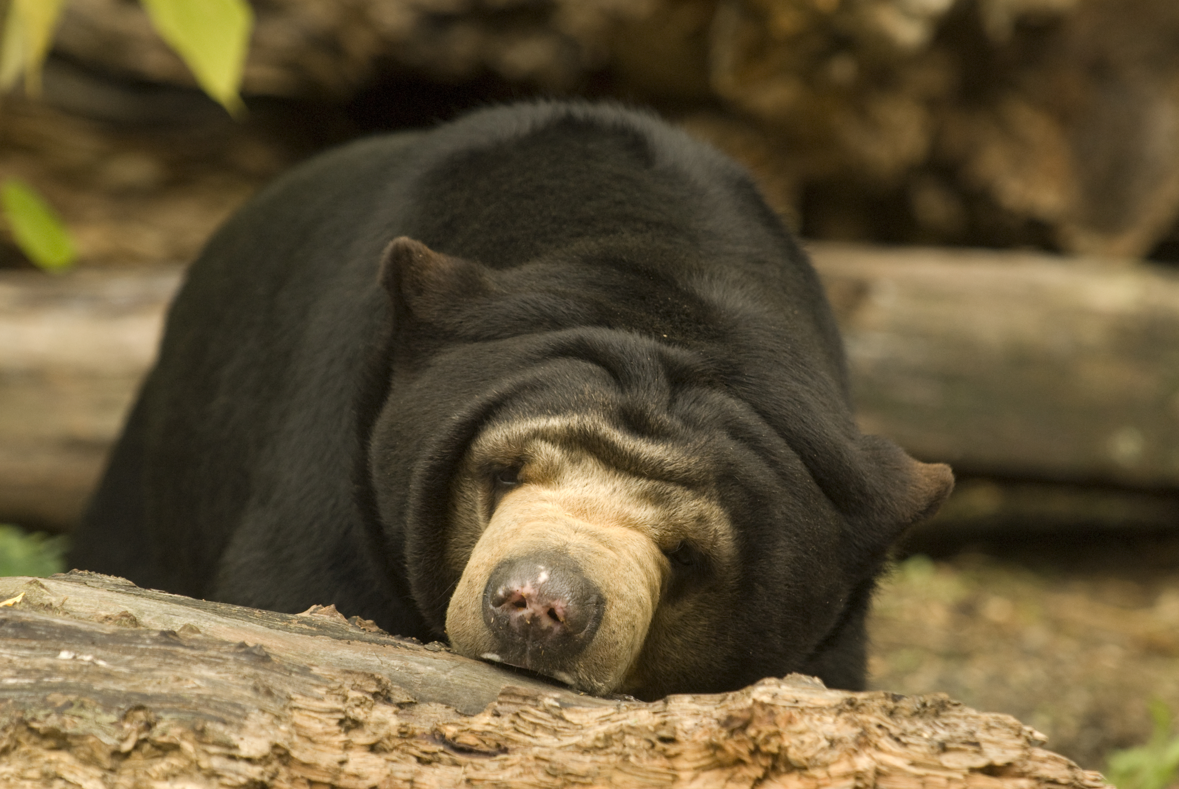Sun Bear Wallpapers Images Photos Pictures Backgrounds