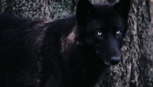 Black Wolf Pictures