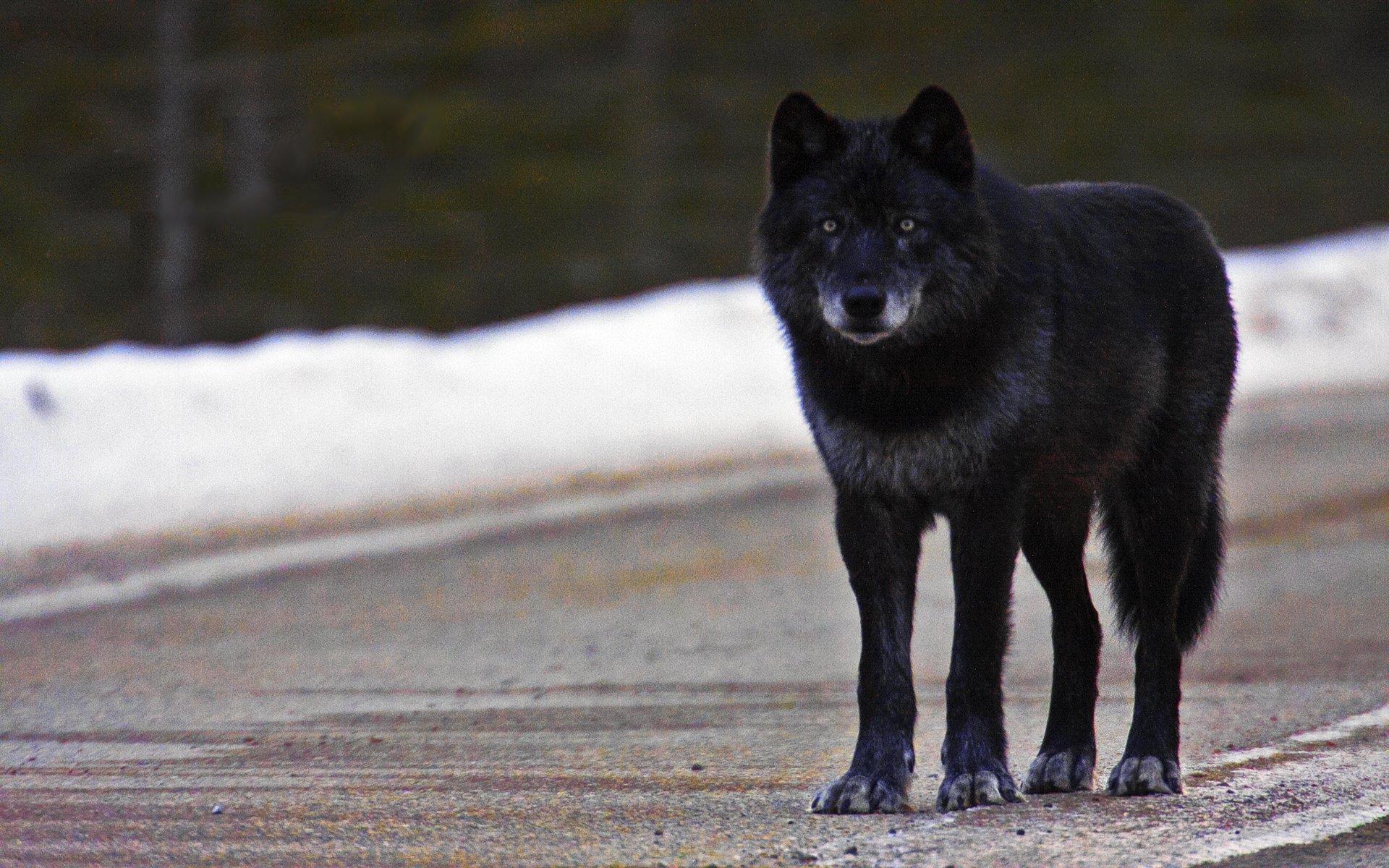 wolf in black and - photo #36