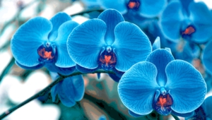 Blue Orchid Pictures