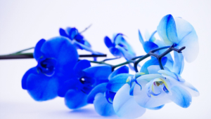 Blue Orchid Wallpapers