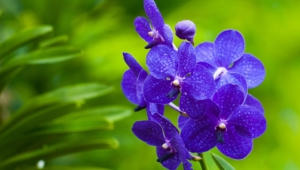 Blue Orchid Wallpapers Hd