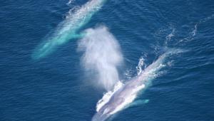 Blue Whale 4k