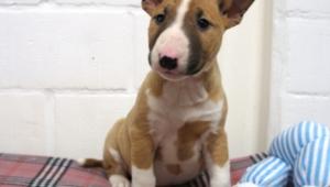 Bull Terrier Background