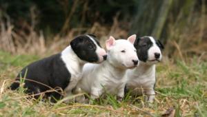 Bull Terrier Hd Background