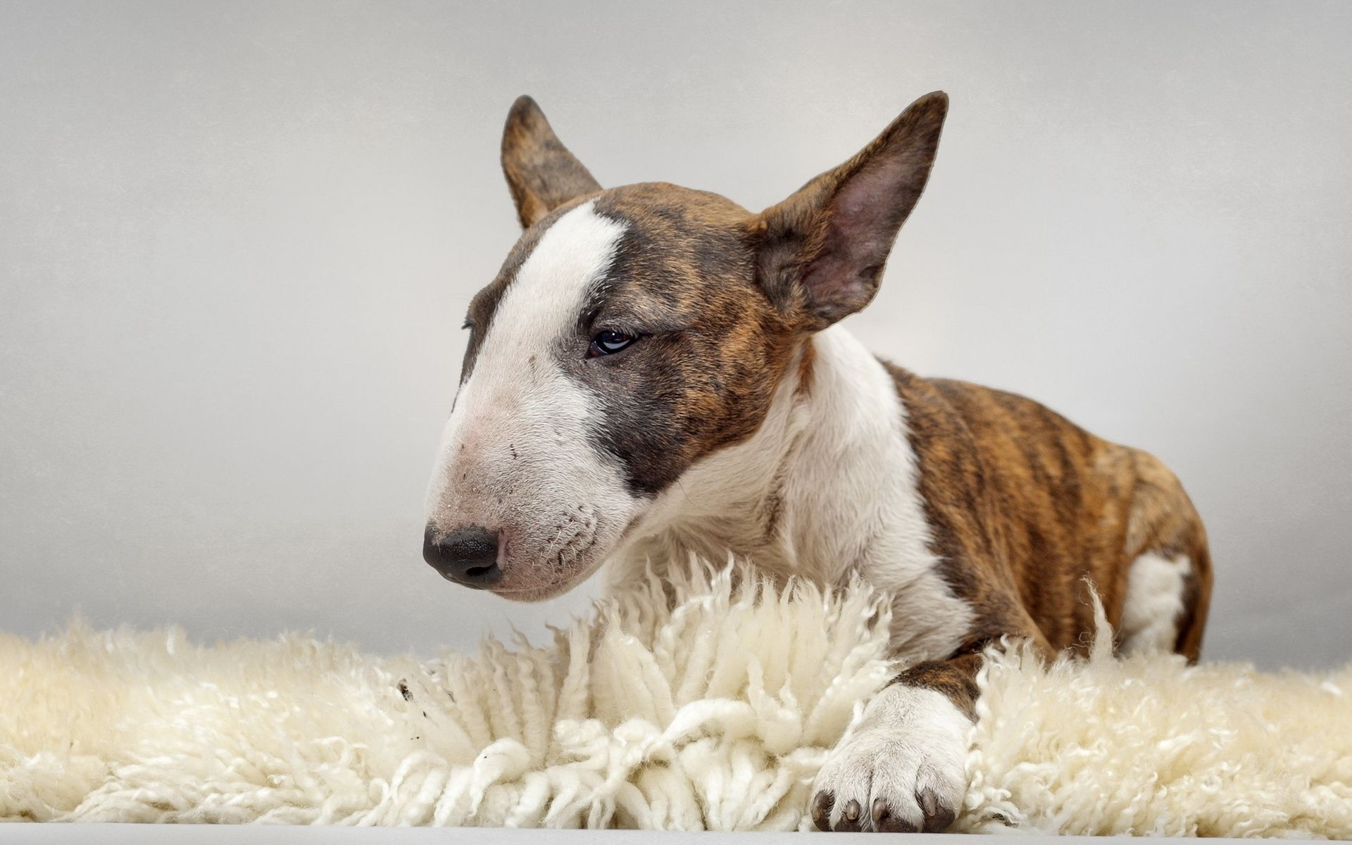 Bull Terrier Wallpapers Images Photos Pictures Backgrounds