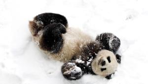 Panda 4k
