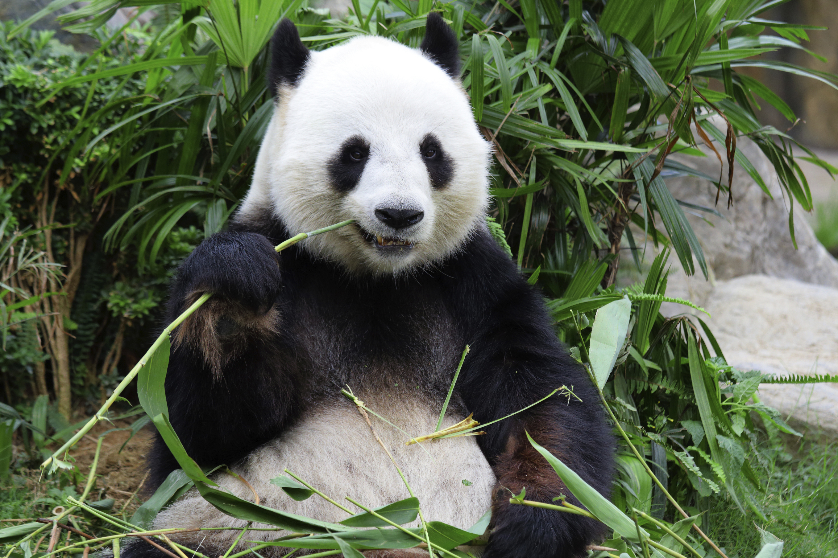 pandas giant panda bear Efforts to save the giant panda, a worldwide symbol of wildlife conservation for half a century, are paying off: the iconic black-and-white bear is no longer endangered, the international body for species protection said on sunday.
