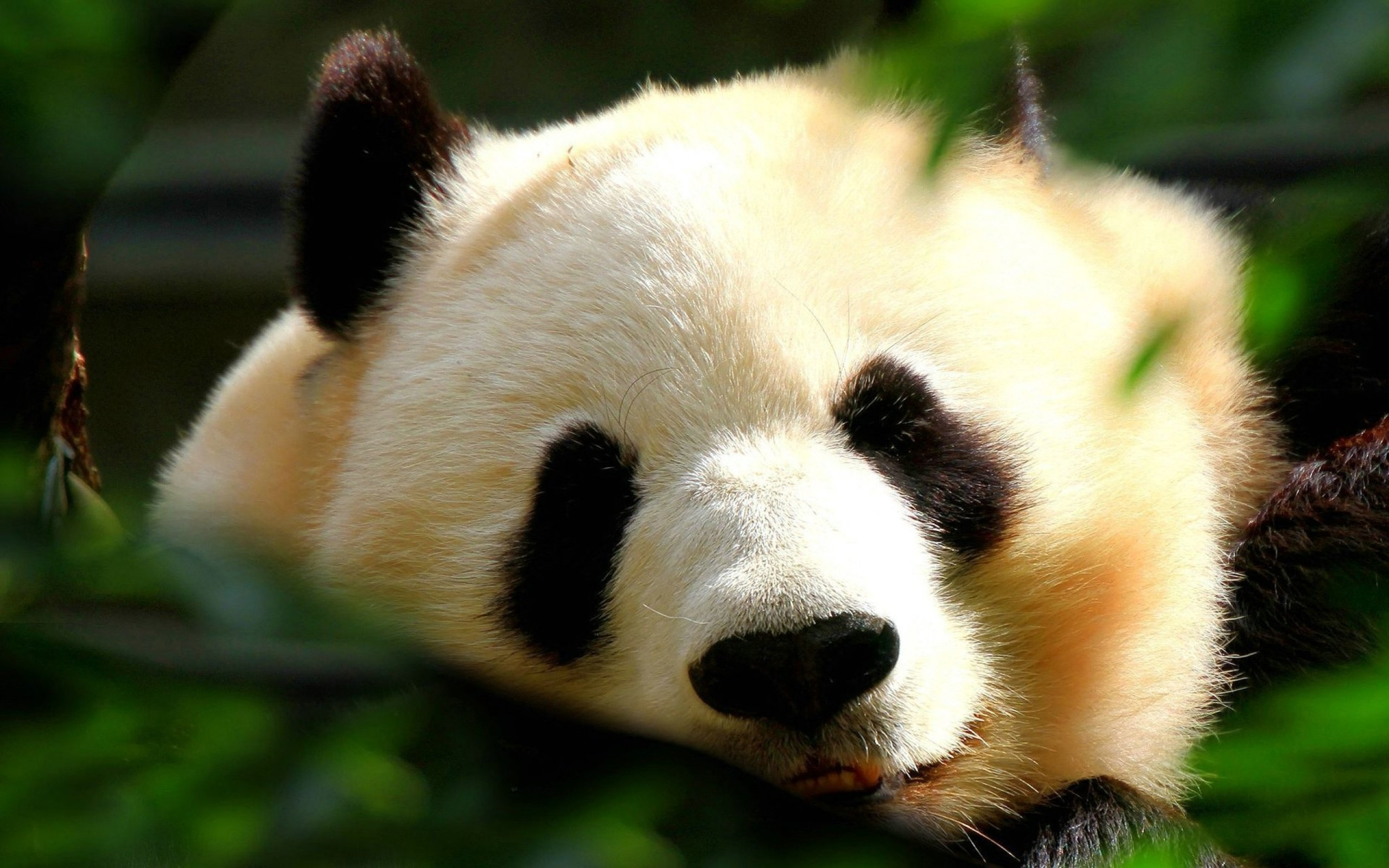 Panda wallpapers images photos pictures backgrounds - Animal wallpaper hd ...