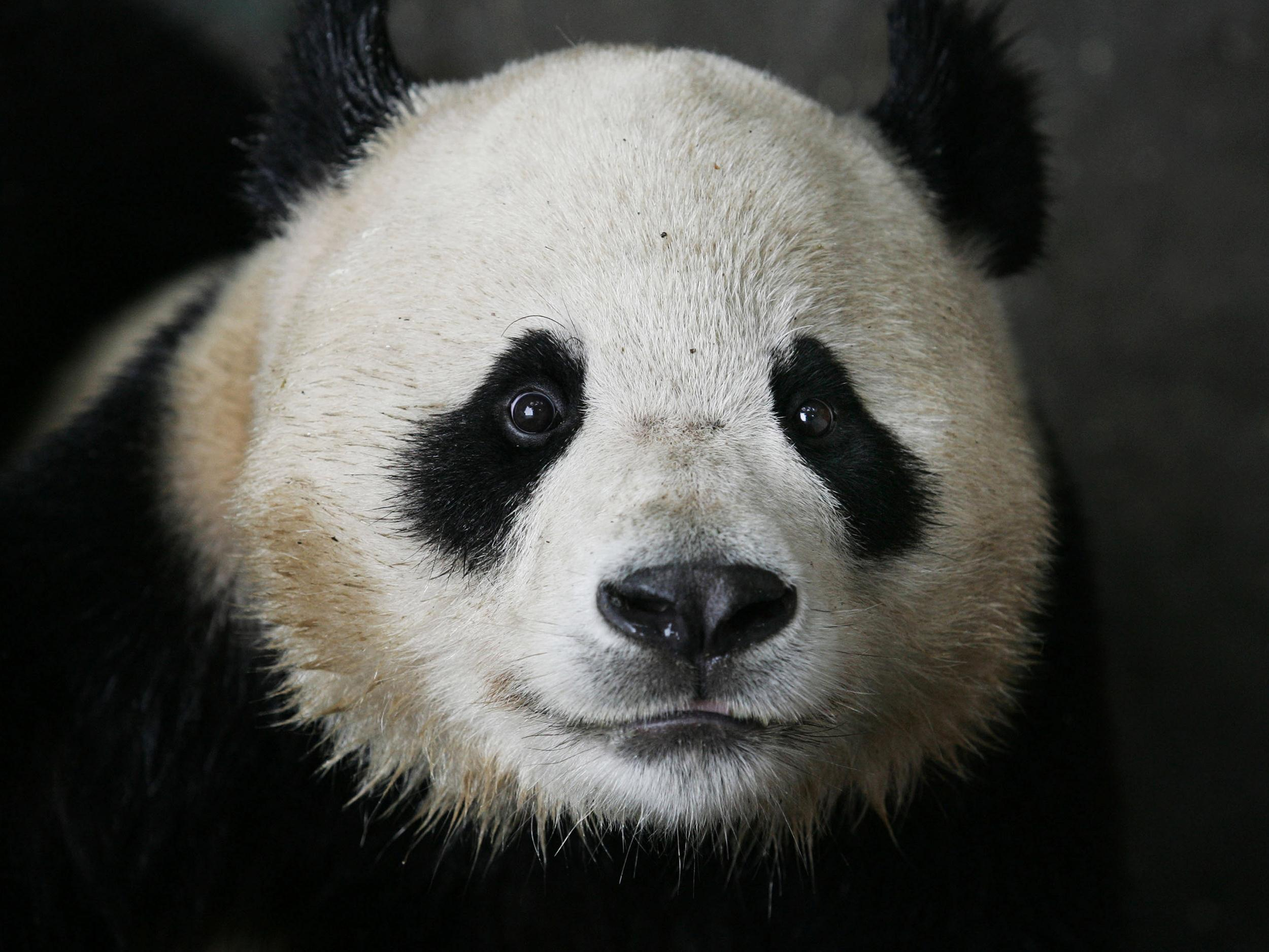 panda pictures hd wallpapers - photo #35