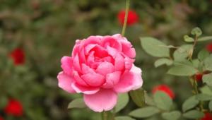 Pink Flower Hd