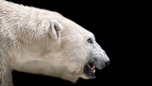 Polar Bear Computer Wallpaper