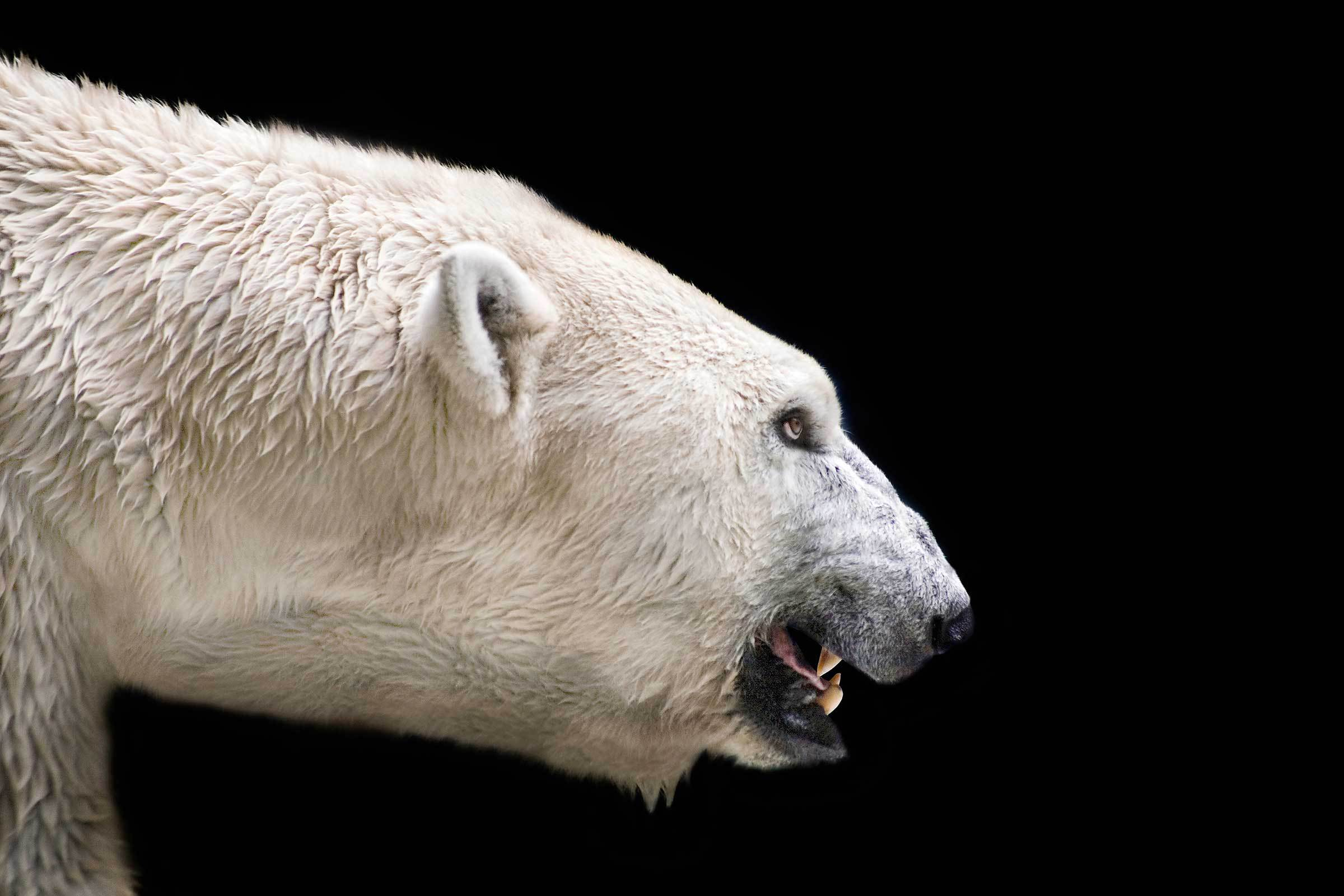 2012 OBITUARIES - THE MT. ECHO Angry polar bear images
