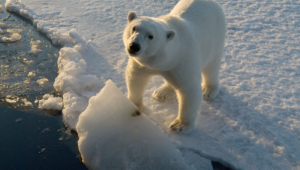 Polar Bear Hd Wallpaper
