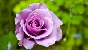 Purple Rose Computer Wallpaper