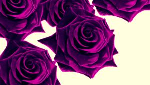 Purple Rose Desktop