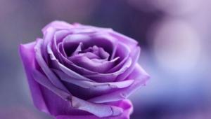 Purple Rose Hd Background
