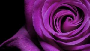 Purple Rose Hd Wallpaper