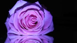 Purple Rose High Quality Wallpapers