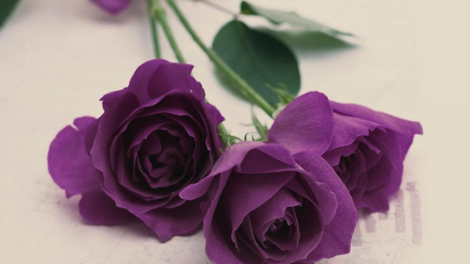 Purple rose wallpapers images photos pictures backgrounds for Purple rose pictures