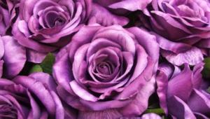Purple Rose Photos