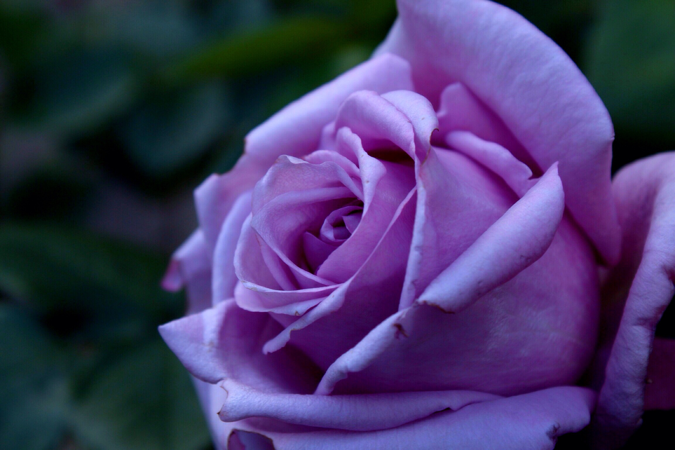 wallpapers of purple roses - photo #29