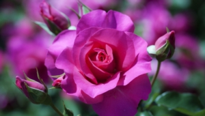 Purple Rose Widescreen